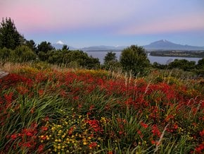 Wildflowers of Patagonia