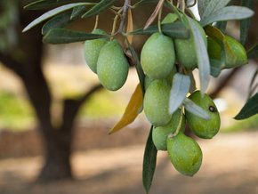 Olive e olio d' oliva