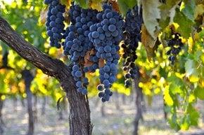 Cosecha de uvas de vino