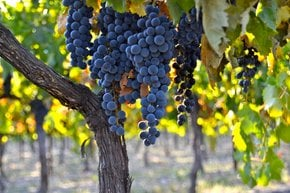 Colheita de uvas de vinho