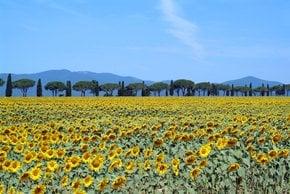 Sonnenblumenfelder