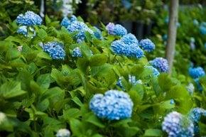 Idrangea Blossoms