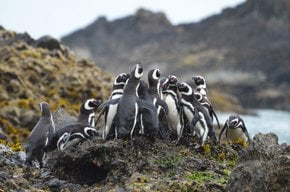 Penguin Safari