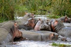 Beobachten aktive Hippos