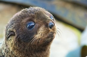 Baby Fur Seals Watching