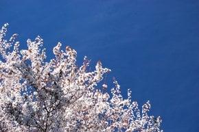 Plum Trees Bloom