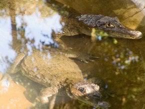 Krokodil beobachten