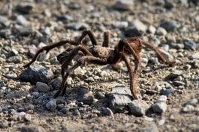 Tarantula Migration