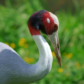 Red-Headed Cranes Watching