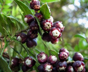 Frutti di bosco selvatici
