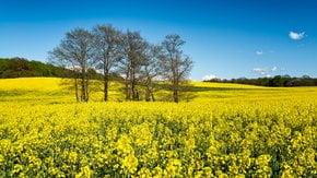Gelber Frühling von Skåne