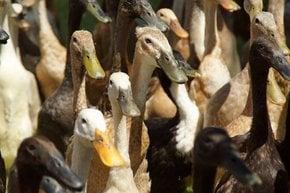 Die Armee der Enten