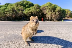 Quokka, the World's Happiest Animal