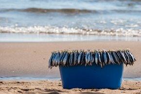 Sardine Season