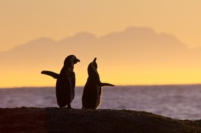 Playful Penguins Watching