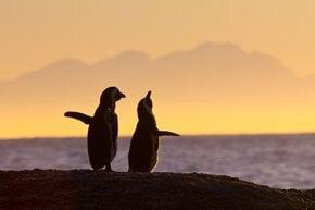 Pingüinos juguetón mirando