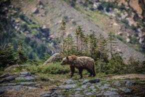 Osos Grizzly en el Parque Nacional de los Glaciares