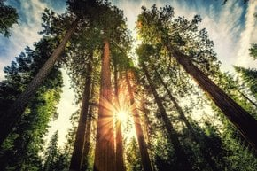 Giant Sequoias des Yosemite Nationalparks