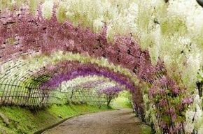 Tunnel der Wisteria