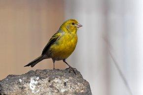Atlantic Canary Breeding