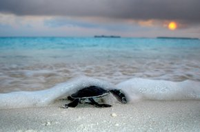 Sea Turtle Hatching