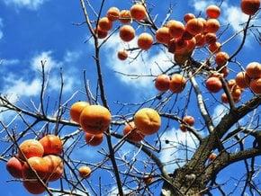 Persimmon Season