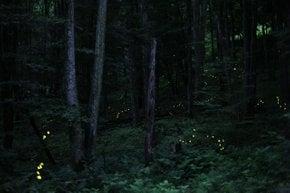 Synchronous Firefly Season