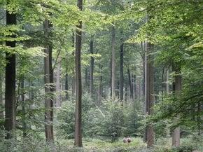 Sonian Forest (Zoniënwoud)