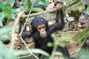 Chimpanzees in Gombe