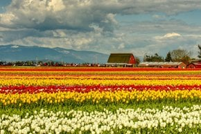 Skagit Valley Tulip Festival near Seattle, Washington