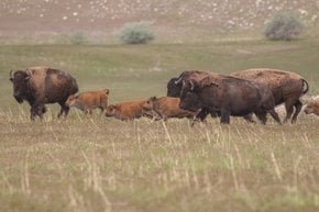 Bison Watching