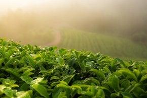 Campi di tè verde