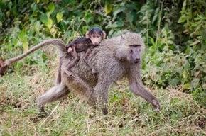 Baboon-Truppen