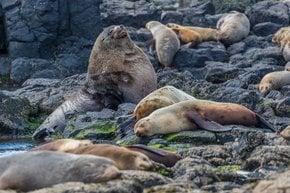 Fur Seal Breeding Season