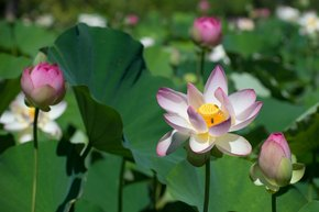 Lotus and Water Lilies at the Kenilworth Aquatic Garden