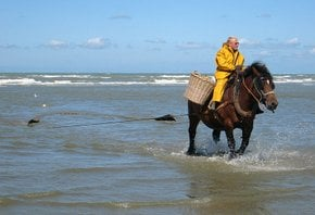 Horseback Shrimp Fishing