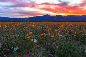 Super Bloom no deserto de Anza-Borrego