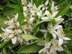 Orange Blossom (Azahar)