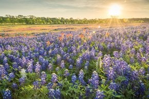 Ennis Bluebonnet Trails Festival
