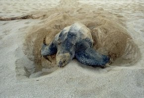 Leatherback Turtles on the North Caribbean