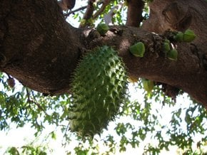 Temporada da Soursop
