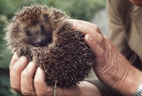 Sauvetage de Hedgehog