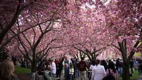 Sakura Matsuri: Cherry Blossom Festival