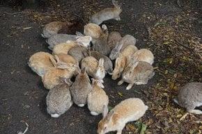 Okunoshima (Isla de Rabbit)