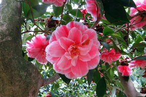 Camellias at Descanso Gardens