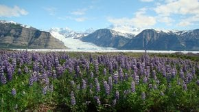 Lupine Fields in Bloom