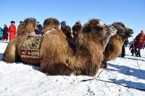 Tausend Kamele Festival