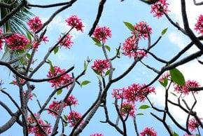 Plumeria Blossom