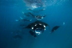 Manta Rays in Baa Atoll