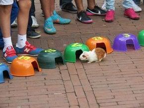 Bogota Guinea Pig Race